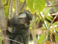 squirrel monkey(0.0), spider monkey(0.0), macaque(0.0), animal(1.0), branch(1.0), monkey(1.0), mammal(1.0), fauna(1.0), marmoset(1.0), old world monkey(1.0), new world monkey(1.0), jungle(1.0), wildlife(1.0),