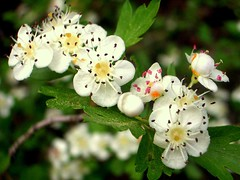 Common Hawthorn - Photo (c) Salomé, some rights reserved (CC BY-NC-SA)
