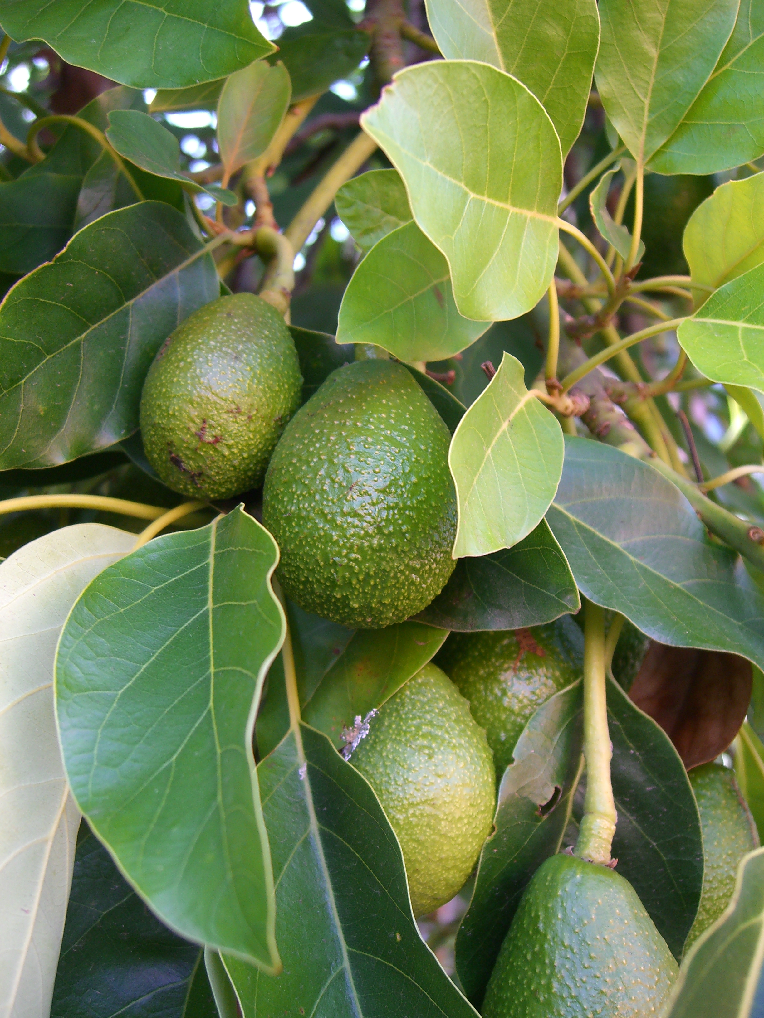 avocado tree flickr photo sharing. Black Bedroom Furniture Sets. Home Design Ideas