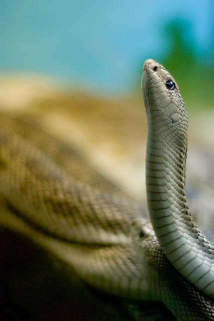 florida pine snakes