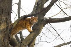 Gillie in tree