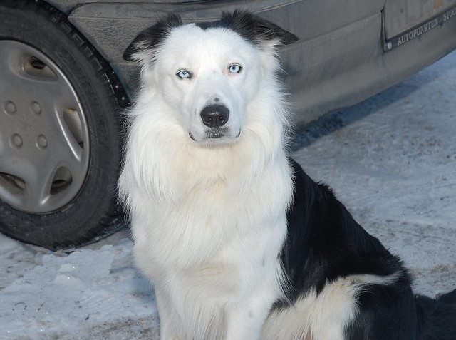 blue eyes border Collie