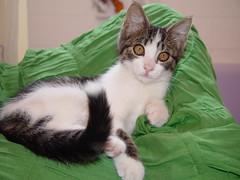 Maya the Kitten with Bronzey Eyes