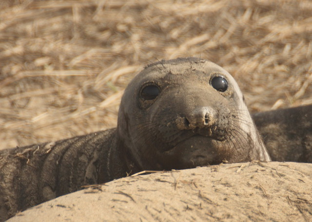 Baby Elephant Seal | Flickr - Photo Sharing!