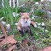 Small photo of Allotment Fox