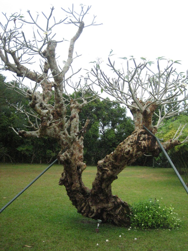 Very old Kalachuchi tree