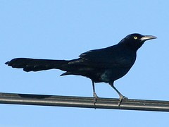emberizidae(0.0), rook(0.0), animal(1.0), wing(1.0), crow(1.0), fauna(1.0), american crow(1.0), beak(1.0), blackbird(1.0), bird(1.0),