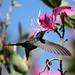 Beija-flor Tesoura ao lado de Uma Pata-de-vaca (Bauhinia variegata) - Swallow-tailed Hummingbird beside a Purple orchid tree 6 353 - 9 by Flávio Cruvinel Brandão