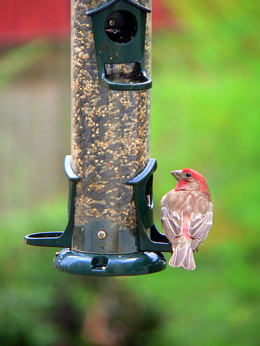 House finch on the bird feeder