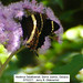 Magnificent Swallowtail - Photo (c) Jerry Oldenettel, some rights reserved (CC BY-NC-SA)