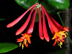 lonicera sempervirens, patton hollow, marion county, tennessee 1