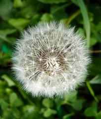 Dandelion star
