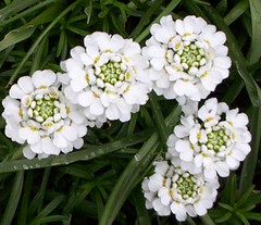 yarrow(0.0), marguerite daisy(0.0), chamaemelum nobile(0.0), tanacetum parthenium(0.0), oxeye daisy(0.0), iberis sempervirens(1.0), flower(1.0), candytuft(1.0), herb(1.0), wildflower(1.0), flora(1.0),