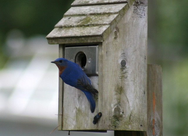 Bluebird house explore memotions 39 photos on flickr for Different bird houses