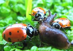 animal, ladybird, invertebrate, insect, macro photography, fauna, close-up, leaf beetle,