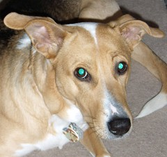 dog sports, dog breed, animal, dog, carolina dog, pet, mammal,