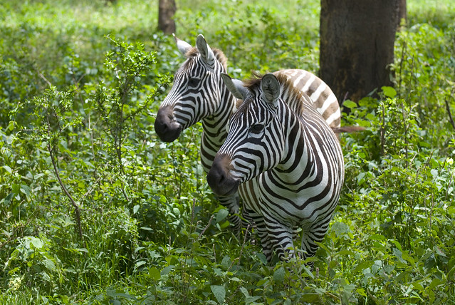 Cebras en el Parque Nacional del Lago Nakuru