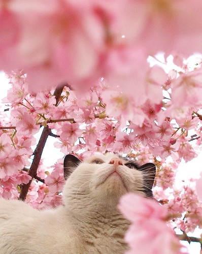 Cat among the cherry blossoms 1