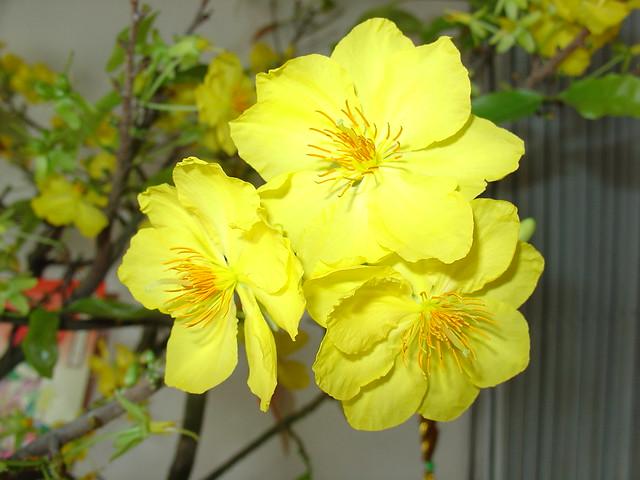Hoa Mai Vang