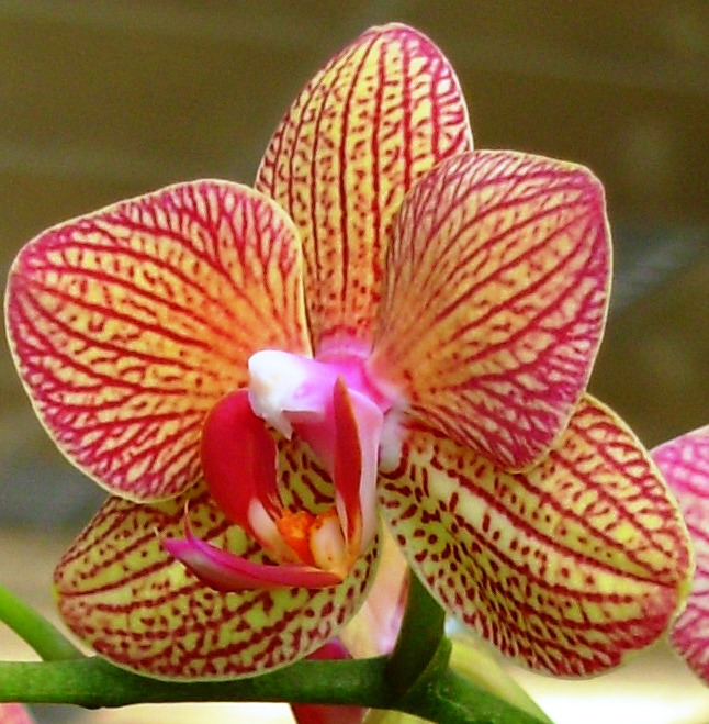 Taiwan Orchid