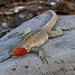 Lava Lizards and Pacific Iguanas - Photo (c) Max Westby, some rights reserved (CC BY-NC-SA)