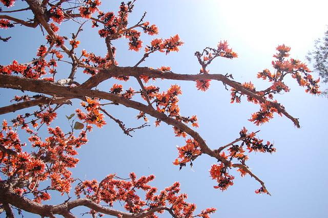 orange blossom treeOrange Blossom Tree