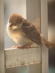 スズメ-sparrow -