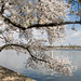 Cherry Blossoms near Tidal Basin