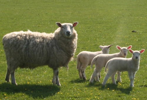 sheep_family3