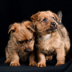dog breed, animal, puppy, dog, schnoodle, pet, norfolk terrier, morkie, border terrier, australian terrier, carnivoran, terrier,