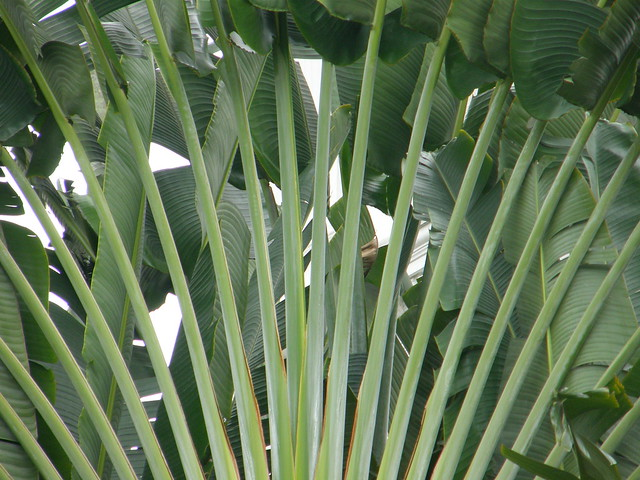 View of a traveller's palm, taken in the garden of Raffles Hotel, Singapore, 2007.