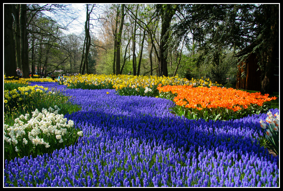 """""""Une superbe creation florale dans le Keukenhof parc en Hollande ou des muscaris, ces petites fleurs bleues, forment comme une riviere de fleurs coulant le long de berges multicolores."""" Photo de Patrick Mayon"""