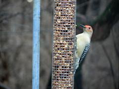 animal, perching bird, fauna, close-up, piciformes, bird, wildlife,