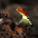 Galapagos Lava Lizard - Photo (c) Max Westby, some rights reserved (CC BY-NC-SA)