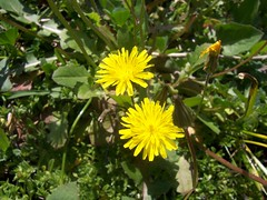 annual plant, flower, yellow, plant, sow thistles, flatweed, flora,
