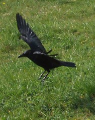 accipitriformes(0.0), eurasian magpie(0.0), magpie(0.0), animal(1.0), wing(1.0), crow(1.0), fauna(1.0), american crow(1.0), beak(1.0), bird(1.0), rook(1.0), wildlife(1.0),