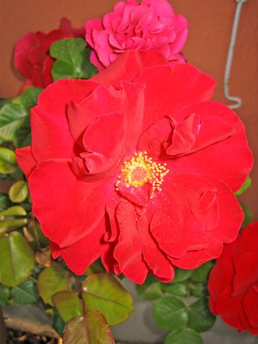 Rose edibili e varie il mondo di luvi su google for Fiori edibili