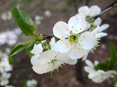 blossom, flower, branch, macro photography, flora, close-up, prunus spinosa,