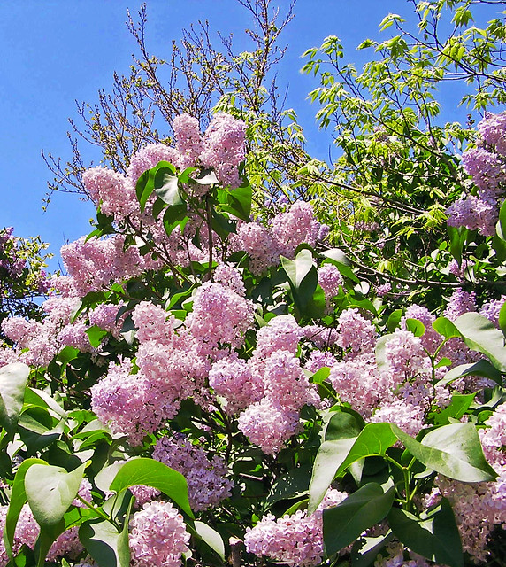 Lilac Tower