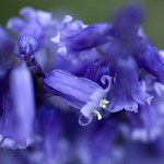Alan Bowman's Bluebells