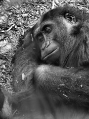 chimpanzee, animal, mammal, great ape, monochrome photography, gorilla, fauna, common chimpanzee, monochrome, ape, black-and-white, wildlife,