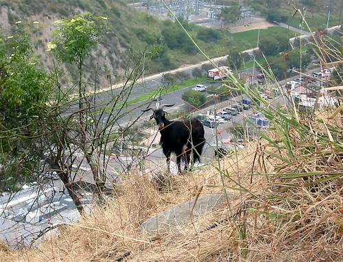 Goat below house