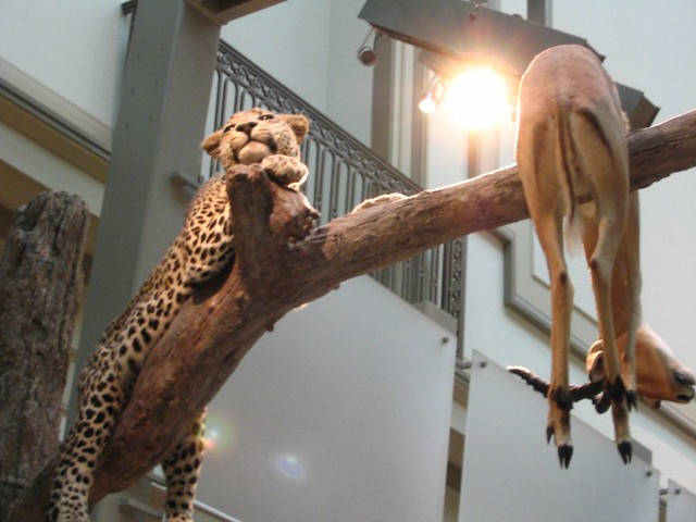 Header of A Leopard