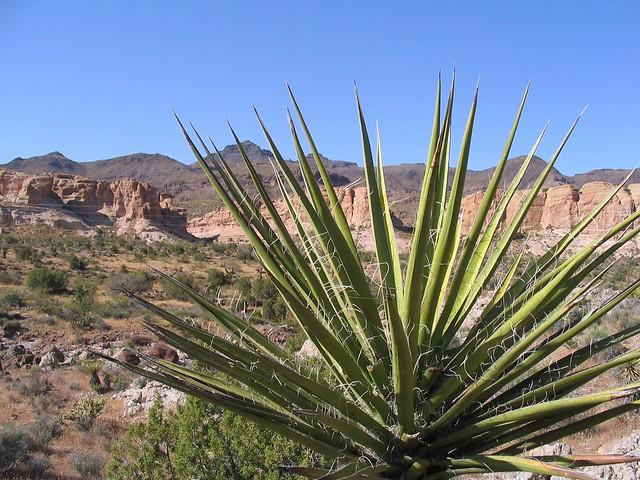 Yucca in Arizona desert