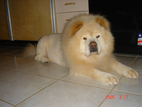 Lion Cut for Dogs Photos http://www.flickr.com/photos/idalingi/20180729/