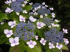 額紫陽花 / hydrangea