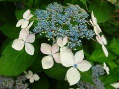 annual plant(1.0), shrub(1.0), flower(1.0), hydrangea serrata(1.0), plant(1.0), flora(1.0),