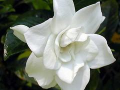 jasmine, shrub, flower, plant, flora, gardenia, petal,