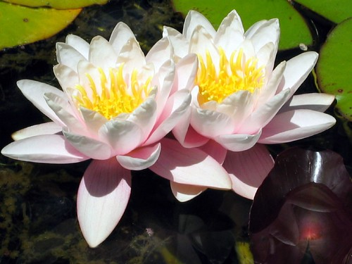 Water Lilies IV