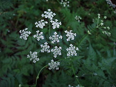 yarrow, flower, cow parsley, cicely, plant, anthriscus, wildflower, flora,
